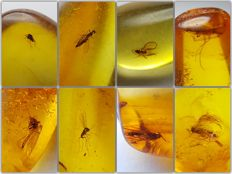 Collection of 8 pieces of amber from the Baltic, with different types of insects - 10-20 mm