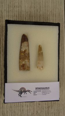 Spinosaurus teeth (2) - 4.5 and 6.5 cm