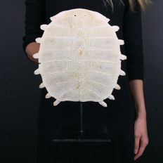 Large Chinese Softshell Turtle carapace skeleton, with stand - Pelodiscus sinensis - 29 x 21.5cm