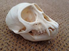 Unusual Vervet Monkey skull - Cercopithecus aethiops - 100 x 63mm - 38gm