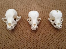 Set of Yorkshire Terrier skulls - Canis l. familiaris - 90, 95 and 105mm - 106gm  (3)
