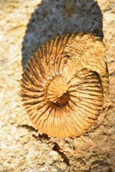 Ammonite - Epimayaites moreti - 8 cm - weight 320 g
