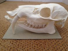 Stunning male Chinese Water Deer skull - Hydropotes inermis - 17cm - 100gm