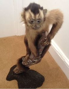 Taxidermy - B;ack-capped Capuchin - Cebus apella - 630mm - 1820gm