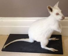 Taxidermy - Albino form Bennett's Wallaby - Macropus rufogriseus - 71 x 21cm
