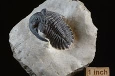 Trilobite Hollardops sp. - 95 x 87 x 38 mm