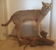 Taxidermy - Jungle Cat, full body mount - Felis chaus - 80 x 65cm - 8.3kg