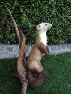 Taxidermy - fine Beech Marten on natural base - Martes foina - 40 x 50 x 60cm