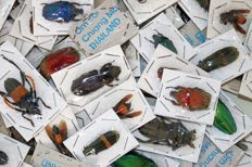 Lot comprising assorted dry-preserved Asian Insects, including Jewel Beetles  (50)