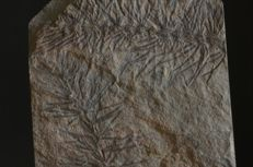 Carboniferous plant - Asterophyllites sp. - 103 x 86 x 12 mm