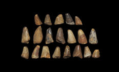 Fossil mosasaur teeth group - 1.1–2.1 cm (20)