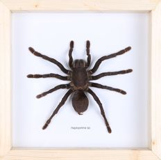 Taxidermy - Thailand Black Tarantula in shadow-box - Haplopelma minax - 20 x 20cm