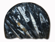 Polished Orthoceras fossil bookends - 15 cm - 3 kg