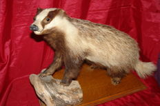 Vintage taxidermy - Common Badger - Meles meles - 25 x 40 x 34cm