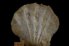 Large Pecten sp. - 120 x 130 x 47 mm