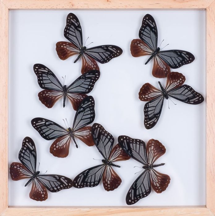 Interesting Exotic Butterfly display in see-through glazed frame ...