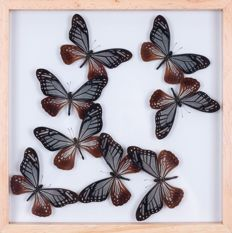 Interesting Exotic Butterfly display in see-through glazed frame - Chestnut Tigers - Parantica sita - 30 x 30cm