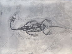 Swimming reptile - Keichousaurus hui - 13.7 cm (16.3 cm in stretched position)