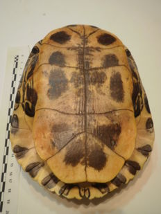 Taxidermy - Red-eared Terrapin, full carapace - Trachemys scripta elegans - 18 x 13 x 7cm