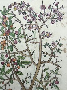 2 botanical woodcut prints by Leonhard Fuchs - Plum Tree - Hemlock - 1549