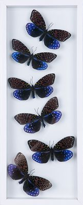 Exotic Day-flying Moths in see-through glass frame - 41 x 15cm