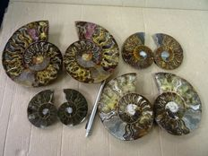4 cut and polished of Ammonite Aioloceras sp. - 7–14,5 cm - 1,39 kg