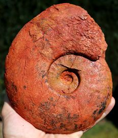 Large and rare ammonite Esericeras eseri - 18.5 cm - 1.1 kg - Two preserved faces - Very colourful by nature