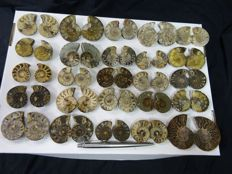 25 cut and polished ammonites Aioloceras sp. - 3,5–6 cm - 958 g