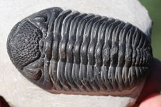 Magnificent trilobite fossil Hypsipariops vagabunduns - Perfect eyes - 7.7 cm - Large size - Rare