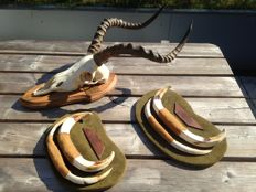 Warthog Tusk Trophies on custom-shields, with Impala skull - all with data - Phaecocerus africanus and Aepyceros melampus - 20 x 30cm and 65cm  (3)