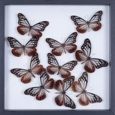 Exotic Butterflies in see-through glass frame- 30 x 30cm