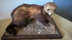 Fine French vintage taxidermy - adult Polecat - Mustela putorius - 41 x 27 x 24cm