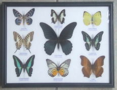 Colourful exotic Butterflies in a wooden frame - 32 x 25cm