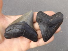 Fossil shark teeth  - Carcharodon Megalodon - 8.1 and 7.4 cm (2)