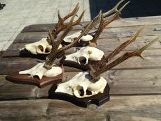 Set of large Roebuck trophies on hand-carved shields - Capreolus capreolus -  to 30cm  (5)