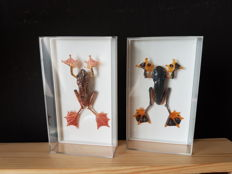 Taxidermy - Reinwardt's Tree Frog and Harlequin Tree Frog in 3-D cases - Rhacophorus sp. - 14 x 8cm  (2)