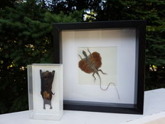 3-D cases with Cave Nectar Bat and Common Flying Dragon - Eonycteris spelaea and Draco volans - 14 x 8cm and 25 x 25cm  (2)