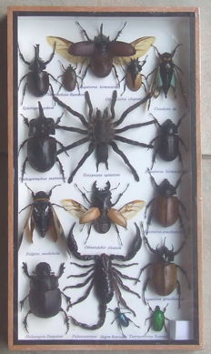 Fine, named Exotic Insect collection in wood display case, including Scorpion and Tarantula - 35 x 20cm