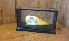 Antique Domestic Goose skull in glass display case - Anserini - 12 x21 x 7.5cm