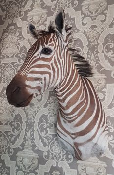 Finest taxidermy - freshly prepared Plains Zebra shoulder - Equus quagga - 100cm