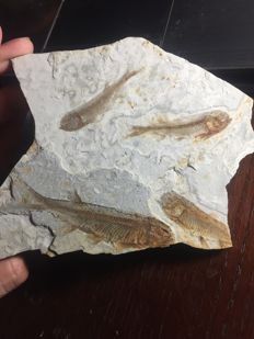 Four fossil fishes on matrix - Lycoptera sp. - 15 x 10.6 cm