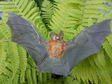 Taxidermy - Intermediate Roundleaf Bat - Hipposideros larvatus - 21cm