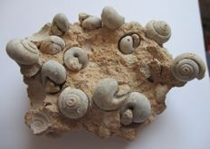 Fossil gastropods - undetermined - 10 x 7.5 cm