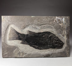 Rare Triassic fish from Austria - Paralepidotus ornatus - 26 x 15 cm (fish 20 cm)