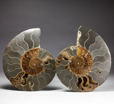 Elegant pair of polished ammonite halves - Aioloceras sp. - 13 x 10,5 cm - 500 g