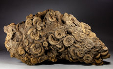 Large mass occurrence of classical ammonites - Dactylioceras athleticum - 51 x 27 cm - 10,55 kg