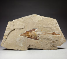 Fine Pycnodontid with visible teeth - Coccodus sp. - 20 x 14 cm (specimen ca. 13,5 cm)