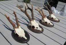 Fine set of Roebuck trophies on custom wall-plaques - Capreolus capreolus - 27 to 37cm  (4)