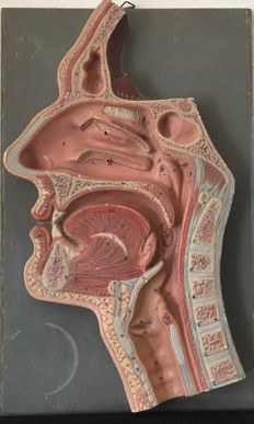 Anatomical model of a nose and mouth, hand-coloured plaster on a grey background. Model dimensions: 39 X 22 X 2.9 CM, Origin: Germany, 1st half of the 20th century.