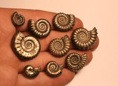 Group of 9 iron pyrite ammonite fossils - mixed species - 12–25 mm